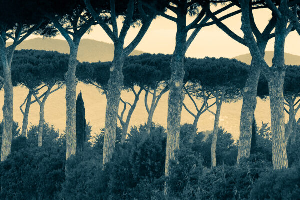 Umbrella Pines in Tuscany