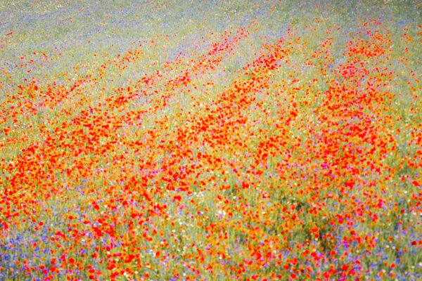 Flowery Meadow in Castelluccio
